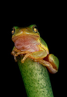 Perched Green Tree Frog
